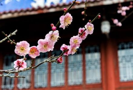 福州千年古寺进入最美梅花季,朋友圈火了!