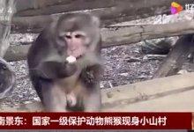 云南发现国家一级保护动物熊猴,非常可爱!